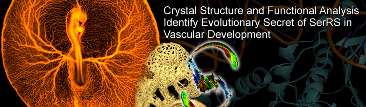 Crystal Structure and Functional Analysis Identify Evolutionary Secret of SerRS in Vascular Development