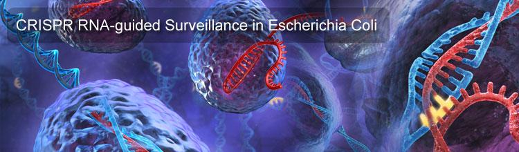 CRISPR RNA-guided Surveillance in Escherichia Coli