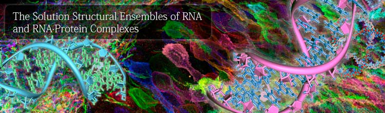The Solution Structural Ensembles of RNA and RNA·Protein Complexes