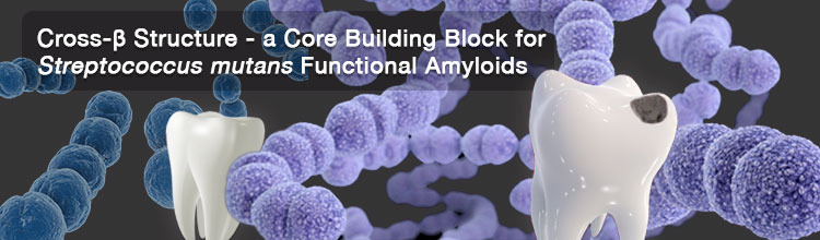 Cross-β Structure - a Core Building Block for Streptococcus mutans Functional Amyloids