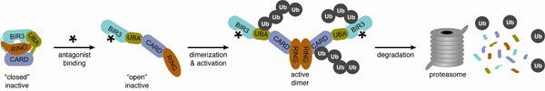 A model for antagonist-induced dimerization, activation, and degradation of cIAP1